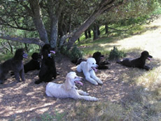 Poodles at Pleasanton Ridge